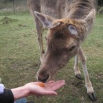 Dådyrhannen spiser gulerødder