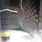 Påfuglen viser sig frem