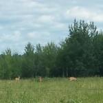 Tre dyr - muligvis whitetails