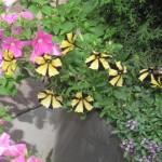 Har aldrig set petuniaer med gule og sorte striber
