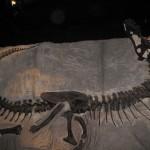 Black Beauty - en af de 20 komplette T. Rex-fossiler fundet - dette er den mindste