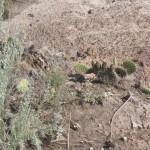 Prickly pear - vores første vilde kaktus