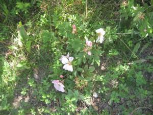 Alberta Roses