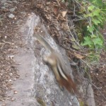 Red-tailed Chipmunk