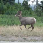 Bighorn ram - et imponerende dyr