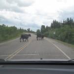 Og så er der køer på vejen