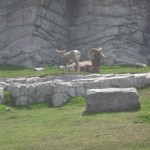 Bighorns i fangeskab
