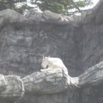 Mountain Goat i fangeskab